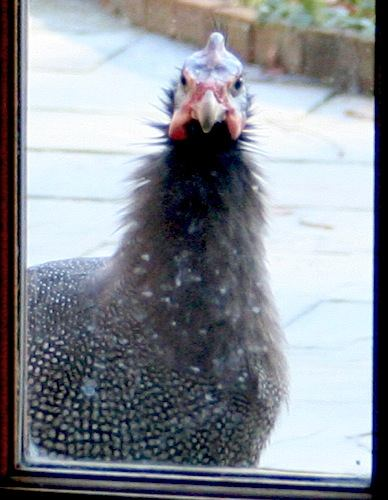 guinea hen looking in window
