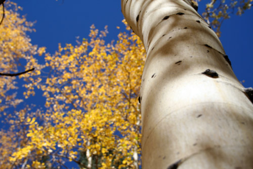 Trunk of aspen tree
