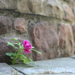 Pink flower in front of stone wall